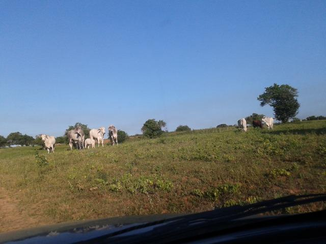 Fazenda com 290 há, casa, curral, 4 barreiros, muito pasto - Foto 6