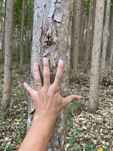 Floresta de eucalipto clonado  - Foto 5