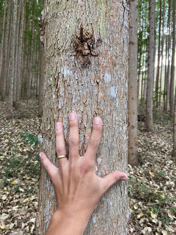 Floresta de eucalipto clonado  - Foto 4