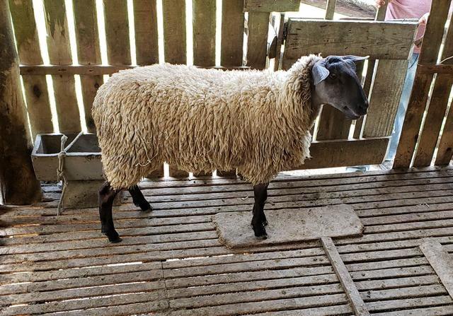 1 carneiro pronto pra abater