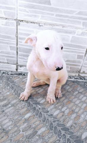 Bull terrier - Foto 3