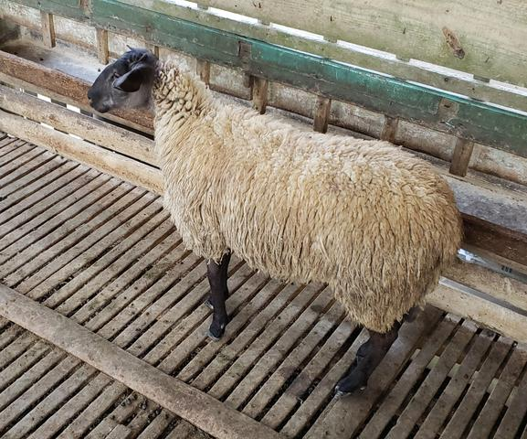 1 carneiro pronto pra abater - Foto 2