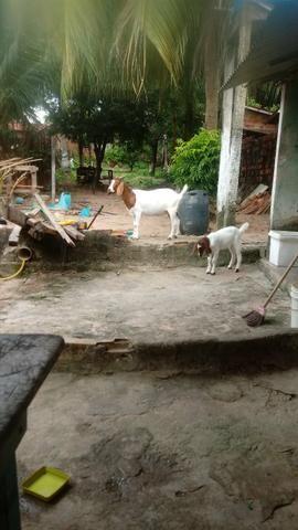 Boer cabra + cabrita - Foto 3