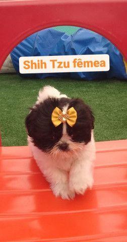 Amores de Shih tzu venha conferir na MK DR PET