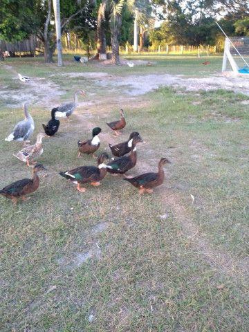 Patos e patas - Foto 2