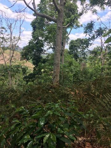 Cedro Australiano de 17 anos Manhuaçu MG