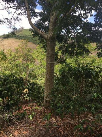 Cedro Australiano de 17 anos Manhuaçu MG - Foto 4