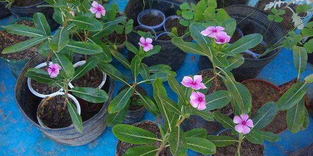Troco plantas - plantinhas - muda - mudinhas - Foto 4