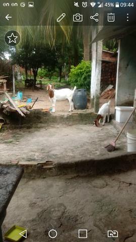 Boer cabra + cabrita - Foto 4