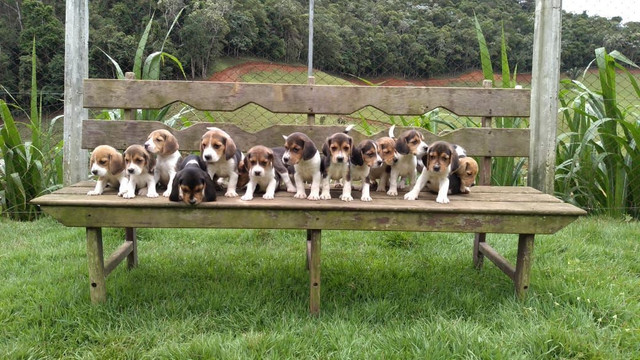 Beagle / @canilcanaa/ PE