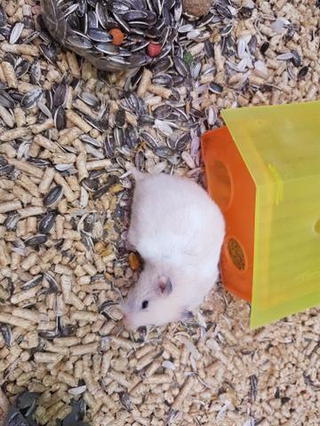 Vendo Casal de hamster Sírio