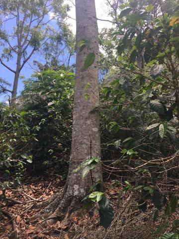 Cedro Australiano de 17 anos Manhuaçu MG - Foto 3