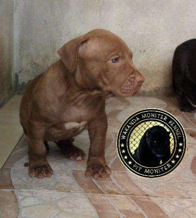 Filhotes de Pit Monster c/ Pedigree IBC - Foto 2