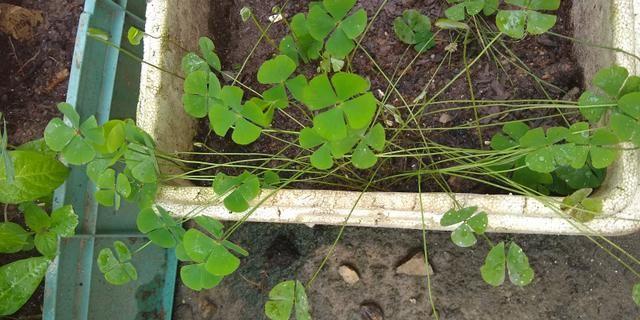 Troco plantas - plantinhas - muda - mudinhas