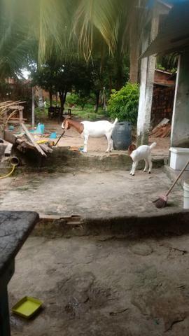 Boer cabra + cabrita