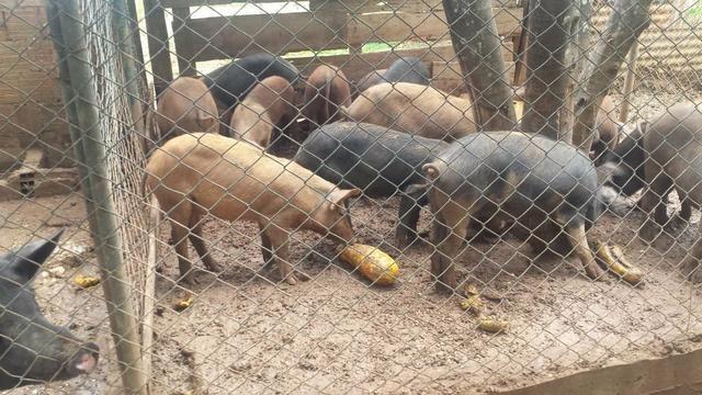Leitão e porco pro Natal R$ 8,00 - Foto 2