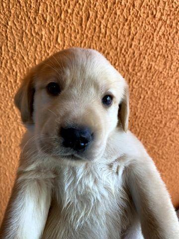 Vendo Filhotes de Labrador Entrego em Florianópolis e São José