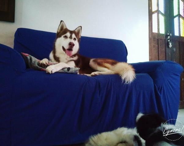 Husky Siberiano - Foto 4