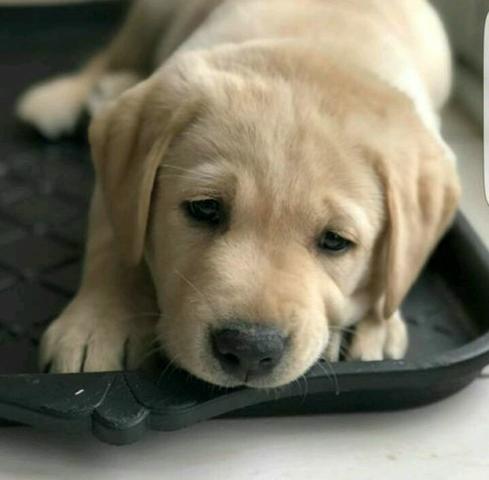Labrador retriever retroceder a melhor companhia dessa quarentena venha - Foto 3