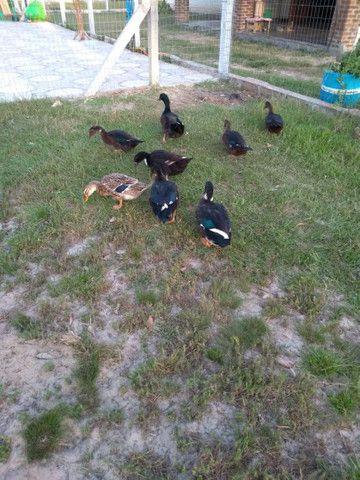 Patos e patas - Foto 3