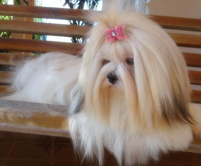 Lhasa Apso fêmea disponível! Entregamos! - Foto 5