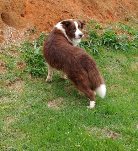 Border collie/ filhotes/ @canilcanaa/ RS - Foto 4
