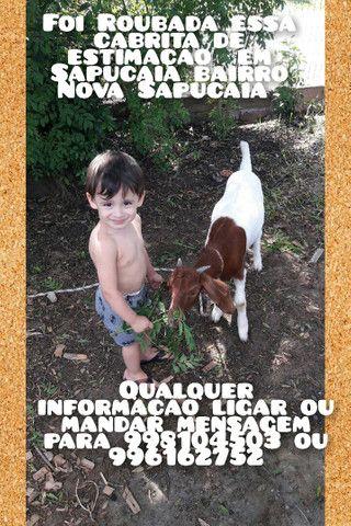 Cabrita de estimação roubada em Sapucaia  - Foto 2