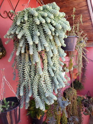 Suculenta franca sp - Foto 2