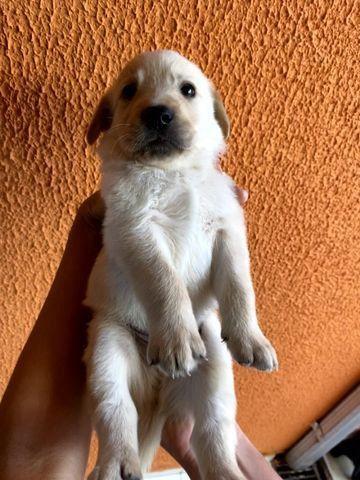 Vendo Filhotes de Labrador Entrego em Florianópolis e São José - Foto 2