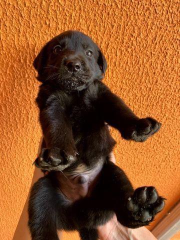 Vendo Filhotes de Labrador Entrego em Florianópolis e São José - Foto 5