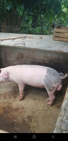 Vendo este porco inteiro