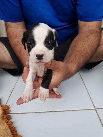 Vendo filhote de Pitbull - Foto 3