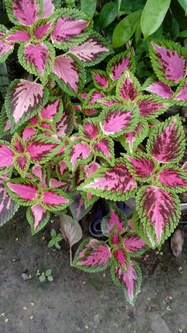Planta natural muito bonita - Foto 3