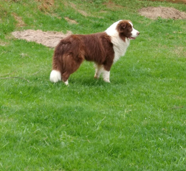 Border collie/ filhotes/ @canilcanaa/ RS - Foto 6