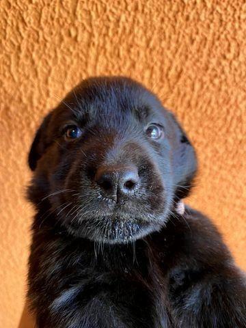 Vendo Filhotes de Labrador Entrego em Florianópolis e São José - Foto 4