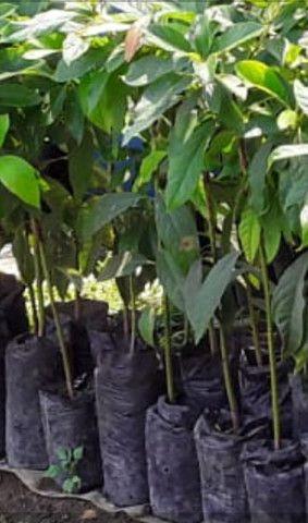 Plantas abacate enxertado - Foto 2
