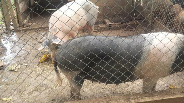 Leitão e porco pro Natal R$ 8,00 - Foto 4