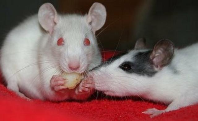 Rato de laboratório Twister super dócil - Foto 2