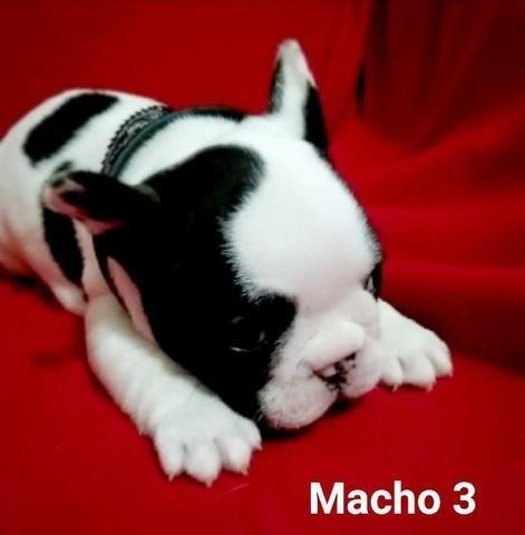 Filhote Macho de Bulldog Francês com 90 dias <3 Itapema SC
