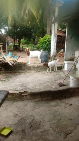 Boer cabra + cabrita - Foto 2