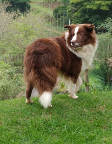 Border collie/ filhotes/ @canilcanaa/ RS - Foto 3