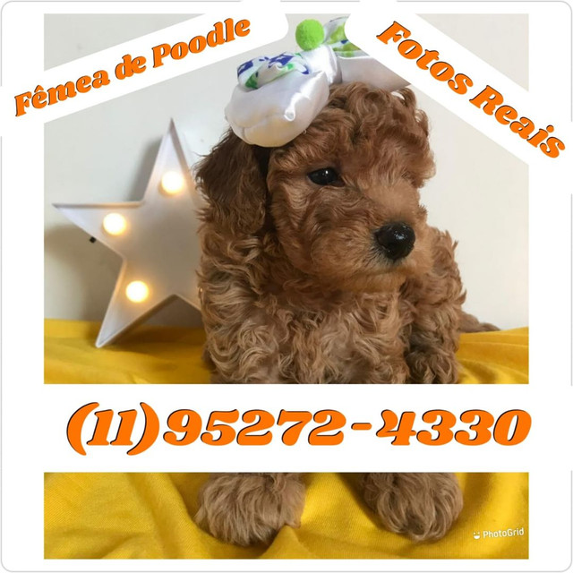 Filhotes de Poodle toy machos e fêmeas disponível