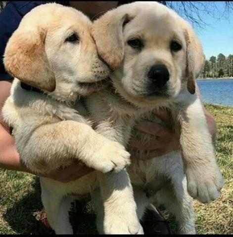 Labrador retriever retroceder a melhor companhia dessa quarentena venha - Foto 2