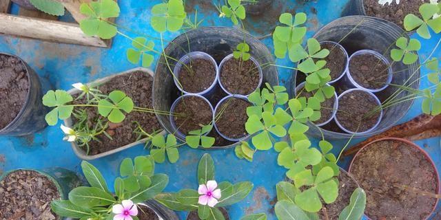 Troco plantas - plantinhas - muda - mudinhas - Foto 3