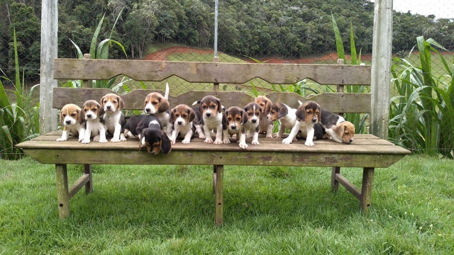 Beagle / @canilcanaa/ PE - Foto 2