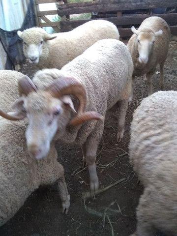 Vendo esse carneiro ou troco