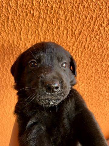 Vendo Filhotes de Labrador Entrego em Florianópolis e São José - Foto 6