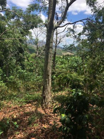 Cedro Australiano de 17 anos Manhuaçu MG - Foto 2
