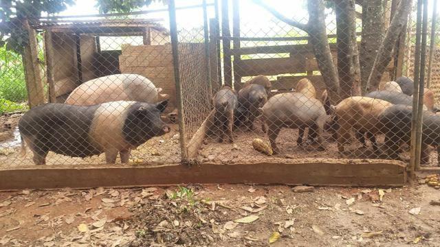 Leitão e porco pro Natal R$ 8,00 - Foto 3
