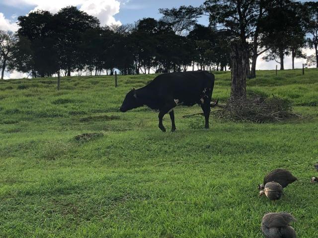 8 vacas de leite paridas - Foto 2